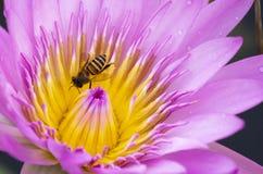 Abeille sur la fleur de lotus rose images stock