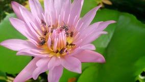 Abeille sur la fleur de lotus rose Images libres de droits