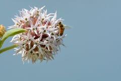 Abeille sur la fleur de milkweed voyant photo libre de droits