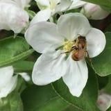 Abeille sur la fleur de pomme Photographie stock libre de droits