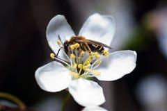 Abeille sur la fleur du cerisier Image libre de droits