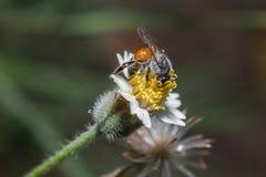 Abeille sur la fleur jaune Photographie stock