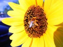 Abeille sur la fleur jaune Image libre de droits