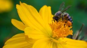 Abeille sur la fleur jaune Images libres de droits