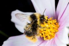 Abeille sur la fleur Macro Photo libre de droits