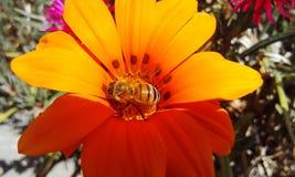 Abeille sur la fleur orange Image stock