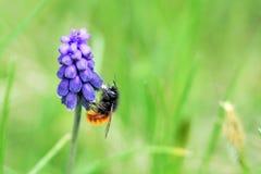 Abeille sur la fleur pourprée Photo libre de droits