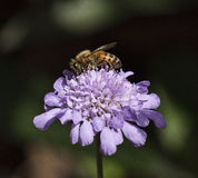 Abeille sur la fleur pourpre Photographie stock libre de droits