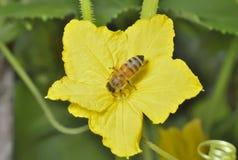 Abeille sur la fleur 1 images libres de droits