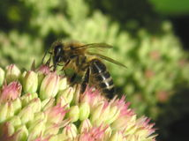Abeille sur la flore Photo libre de droits