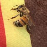 Abeille sur le brun, le jaune et le rouge Photo libre de droits