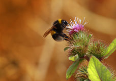 Abeille sur le chardon Photo stock