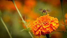Abeille sur le double souci orange Photographie stock