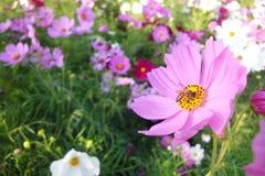 Abeille sur le gisement de fleurs de cosmos Image libre de droits