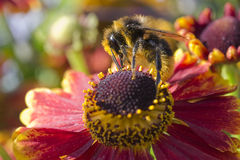 Abeille sur le Helenium Photo stock