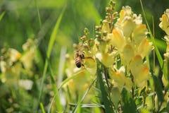 Abeille sur le Linaria vulgaris sur le coucher du soleil photos stock