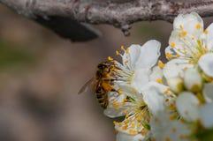 Abeille sur le macro blanc de fleurs de prune image libre de droits