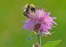 Abeille sur le macro de fleur Photographie stock