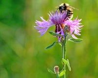 Abeille sur le macro de fleur Photo stock