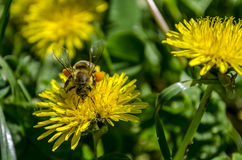 Abeille sur le pissenlit Photo stock