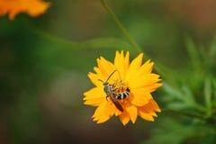 Abeille sur le 'rayon de soleil' grandiflora de Coreopsis Photographie stock