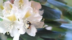 Abeille sur le rhododendron de blanc de fleur banque de vidéos