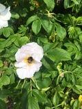 Abeille sur le rosier sauvage Photographie stock