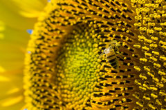Abeille sur le tournesol Photo stock