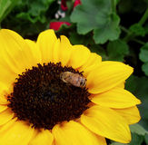 Abeille sur le tournesol Photo libre de droits