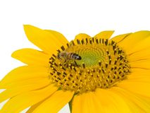 Abeille sur le tournesol d'isolement sur le blanc Photos stock