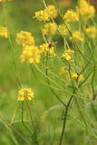 Abeille sur le wildflower jaune Photographie stock libre de droits