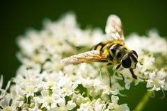 Abeille sur les fleurs blanches en gros plan image stock