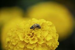 Abeille sur les fleurs jaunes de souci ou erecta de Tagetes dans le jardin photo stock