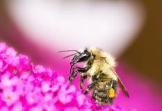 Abeille sur les fleurs pourpres de buddleia Image libre de droits