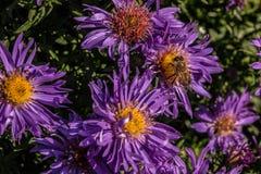 Abeille sur les fleurs violettes image libre de droits
