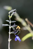 Abeille sur Salvia Photos stock