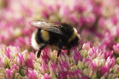 Abeille sur Sedum rose Photos stock