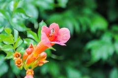Abeille sur un chèvrefeuille, caprifolium perfolié de Honeysuckle Lonicera Photo stock
