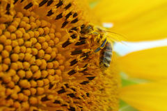 Abeille sur un tournesol Photos stock