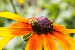 Abeille sur une fleur Photo stock