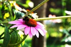 Abeille sur une fleur photographie stock libre de droits