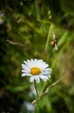 Abeille sur une fleur Photographie stock