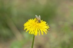 Abeille sur une fleur Photo libre de droits
