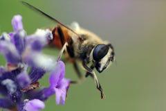 Abeille sur une fleur bleue. Instruction-macro Photographie stock libre de droits