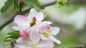 Abeille sur une fleur d'été Photo libre de droits