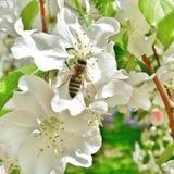 Abeille sur une fleur de pomme Photographie stock libre de droits