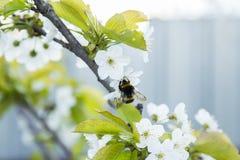 Abeille sur une fleur des fleurs de cerisier blanches Images libres de droits