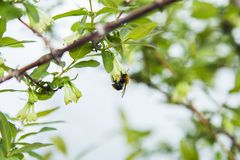 Abeille sur une fleur des fleurs de cerisier blanches Photographie stock libre de droits