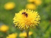 Abeille sur une fleur jaune Photographie stock