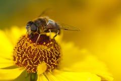 Abeille sur une fleur jaune Photographie stock libre de droits
